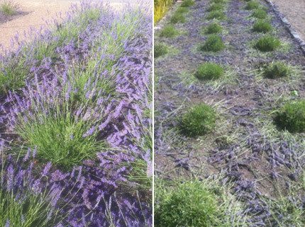 trim back lavendar every year